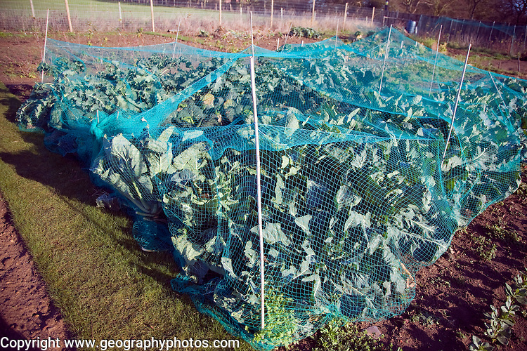 Cabbage plants growing in winter allotment gardens, Shottisham, Suffolk, England