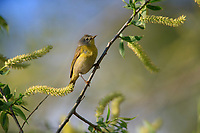 Nashville Warbler (Oreothlypis ruficapilla ruficapilla), Eastern subspecies, a spring migrant to Magee Marsh in Oak Harbor, Oho foraging.