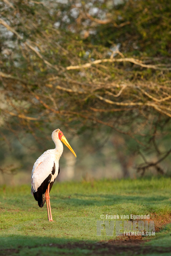 Yellow-billed Stork (Mycteria ibis).. Ndumo Game Reserve, Kwazulu-Natal, South Africa. November 2010.