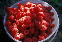 Bucket of fresh rasberries, Canada