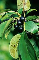Echter Kreuzdorn, Purgier-Kreuzdorn, Früchte, Rhamnus cathartica, Rhamnus catharticus, Common Buckthorn, European Buckthorn