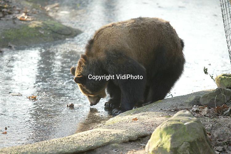 Foto: VidiPhoto..RHENEN - De Russische filmbeer Ljalja probeert voorzichtig het ijs op de vijver van het Berenbos in Ouwehands Dierenpark. Het dier, sinds augustus 2000 in het park, is nog steeds niet gewend en loopt wat verdwaasd rond. Ze snapt niet dat ze een winterslaap moet houden en begrijpt al helemaal niet waarom de andere beren dat wel doen.  Onderzoek heeft aangetoond dat Ljalja de laagste is in de rangorde, dus is ze deze maanden even de baas.