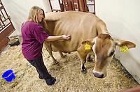 CVM food animal clinical technician, Ali Anderson, monitors a bovine patient.