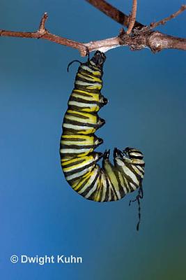 MO06-532z  Monarch forming a Chrysalis - Danaus plexipuss...