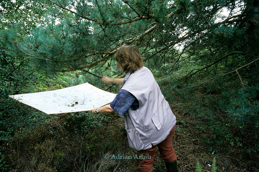 Biologist Helen Kirk collecting insects on Hatfield moor on one of the last remaining areas that hasn't been excavated for peat  by Scotts.    Scotts continue to drain Thorne Moors and  extract peat from  this fragile ecosystem despite massive protest locally and nationally.