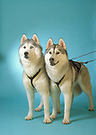 Siberian Husky on blue seamless in the studio<br /> <br /> Shopping cart has 3 Tabs:<br /> <br /> 1) Rights-Managed downloads for Commercial Use<br /> <br /> 2) Print sizes from wallet to 20x30<br /> <br /> 3) Merchandise items like T-shirts and refrigerator magnets