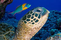 green sea turtle, Chelonia mydas, being cleaned by endemic, saddle wrasse, Thalossoma duperrey, Kona Coast, Hawaii, USA, Pacific Ocean