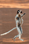 Verreaux's sifaka, Propithecus verreauxi, Berenty National Park, Madagascar, hopping across open ground to reach new feeding area, Classified as Vulnerable (VU) on the IUCN Red List, and listed on Appendix I of CITES