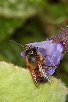 Rote Mauerbiene, Mauer-Biene, Männchen, Osmia rufa, Osmia bicornis, Blütenbesuch Lungenkraut, Nektarsuche, Bestäubung, red mason bee