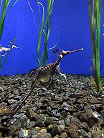 Seadragons im Ozeanium im Vergnügungspark Zoomarine - 25.09.2019: Zoomarine Park, Guia, Albufeira an der Algarve
