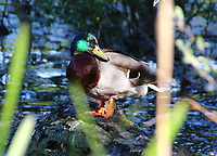 A Mallard enjoys the sunshine on the lake at Priory Park, Bedford UK. May 20th 2020  <br /> <br /> Photo by Keith Mayhew