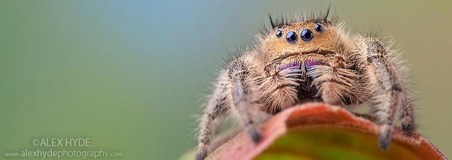 Regal Jumping Spider {Phidippus regius} female. Captive, originating form North America.