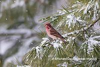 01644-00420 Purple Finch (Haemorhous purpureus) male in pine tree in winter snow Marion Co. IL