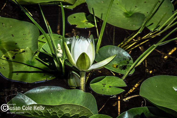 Water lilies in Bradley Palmer State Park in Topsfield, Massachusetts, USA