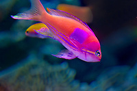 412100001 a captive squarespot anthias fish pseudanthias pleurotaenia swims in its saltwater tank at the aquarium of the pacific in long beach california