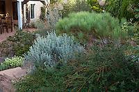 Gray foliage Parthenium incanum, (Mariola) with pruned Scotch broom (Cytisus scoparius) and Jasminum nudiflorum, Winter jasmine in drought tolerant New Mexico backyard garden, design by Judith Phillips