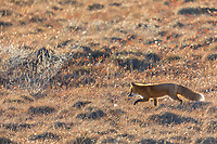 Red fox hunts in the autumn tundra of the Arcitc North Slope, Alaska.