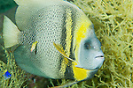 Sea of Cortez, Baja California, Mexico; a Cortez Angelfish (Pomacanthus zonipectus) swimming amongst Yellow Polyp Black Coral (Antipathes galapagensis)