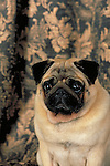 Pug<br /> <br /> <br /> Shopping cart has 3 Tabs:<br /> <br /> 1) Rights-Managed downloads for Commercial Use<br /> <br /> 2) Print sizes from wallet to 20x30<br /> <br /> 3) Merchandise items like T-shirts and refrigerator magnets
