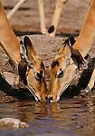 Impala and oxpeckers, Chobe National Park, Botswana