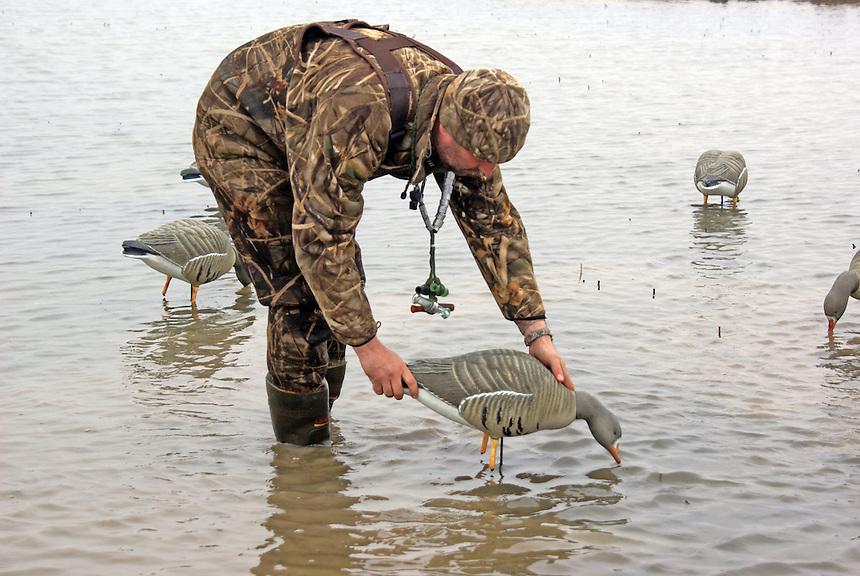 Hunter placing white-fronted or specklebelly goose decoys, Stuttgart, Arkansas
