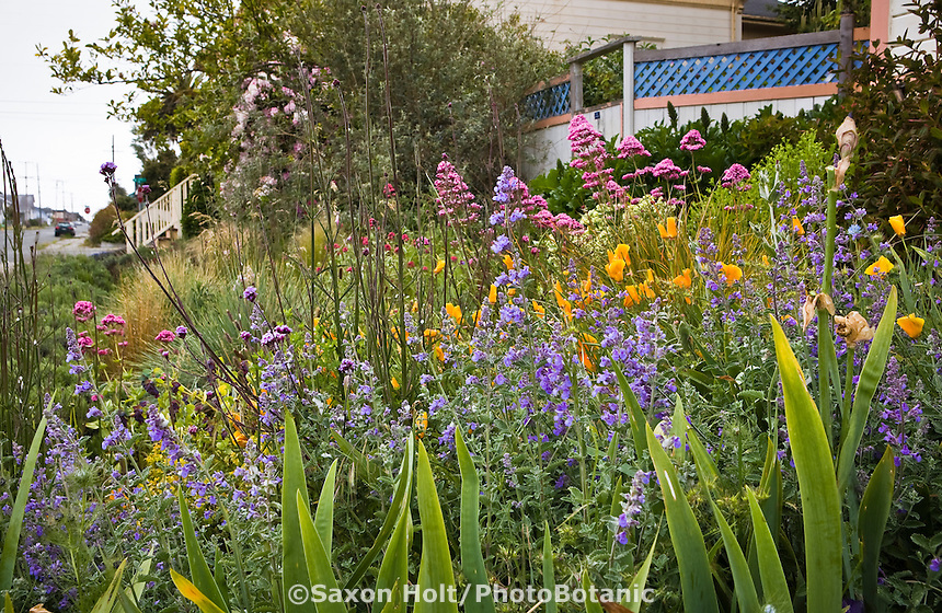 Amy Stewart's front yard, flowery no lawn cottage artist garden by the street in Eureka ,California