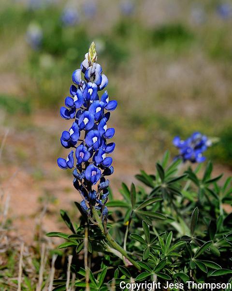 Bluebonnet Flower, Burnet, TX