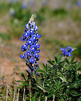 Bluebonnet Flower, Burnet, TX