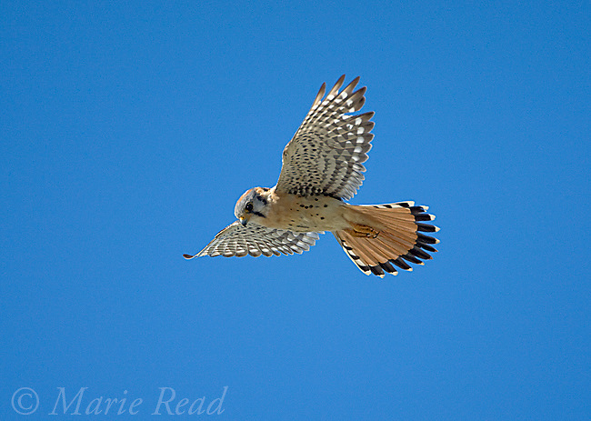 American Kestrel (Falco sparverius), hovering in search of prey, Crystal Cove State Park, California, USA