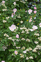 Ausschnitt einer Hecke, Knick mit blühender Wildrose und Hartriegel, Hunds-Rose, Hundsrose, Heckenrose, Rose, Rosa canina. Common Briar, Dog Rose, Blutroter Hartriegel, Cornus sanguinea, Common Dogwood, Dogberry, Cornouiller sanguin