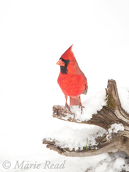Northern Cardinal (Cardinalis cardinalis) male perched on a snow-covered log in winter, New York, USA