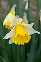 Daffodil (Narcissus 'Ellen'), a Division 2 Large-cupped variety, mid February.