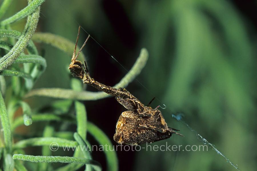 Gewächshaus-Federfußspinne, Uloborus plumipes, Kräuselradnetzspinnen, Uloboridae