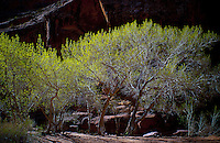 March 24, 2016 - Moab, Utah, U.S. -  Early morning light illumines the blooming cottonwoods in Hunters Canyon, near Moab, Utah.