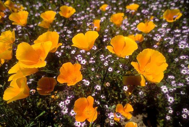 Wild California poppies grow near a vineyard in St.  Helena, CA