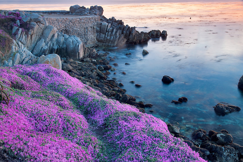 Purple ice plant blossoms and ocean. Pacific Grove, California