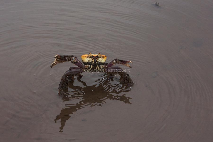 .Mantou (ucides cordatus) dans la mangrove de la Caravelle