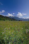 Spring flowers and grass in Alpine meadow, Imst district, Tyrol, Tirol, Austria.