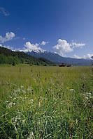 Spring flowers and grass in Alpine meadow, Imst district, Tyrol, Tirol, Austria.