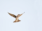 Female Purple Martin hovering in flight against cloudy sky