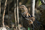 Ruffed grouse (Bonasa umbellus) with his tongue hanging out