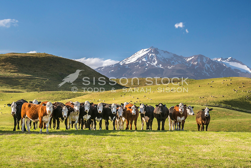 Inquisitive cattle and grazing sheep on farmland near Oakune. Mount Ruapehu in the distance, North Island, New Zealand- stock photo, canvas, fine art print
