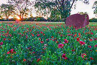 Hill Country Wildflowers Sunset- Texas Wildflower Landscape - Texas Hill country wildflower sunset with indian blanket or firewheel with these metal buffalo cutouts  as the sun rays goes down through the tree over this field of firewheel wildflowers in spring. The buffalo represent a time when these bison grazed in Texas.