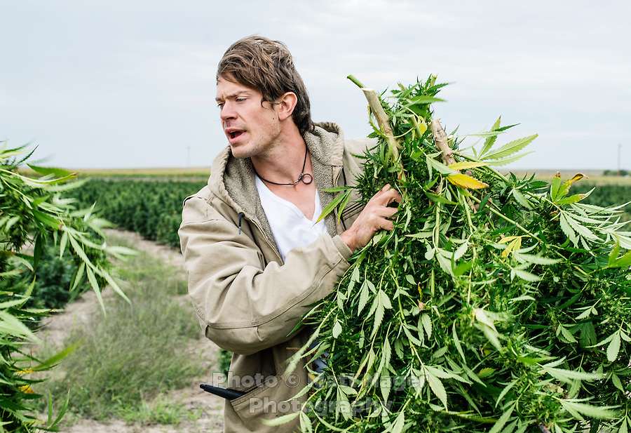 Jared Stanley (cq) helps in the harvest of industrial grade hemp in the Stanley Brother's farm near Wray, Colorado, Monday, September 22, 2014. The Stanley Brothers have developed a popular strain of marijuana that has been found to be helpful in reducing seizures. The marijuana high in CBDs and low in THC, the chemical which gets a person stoned.<br /> <br /> Photo by Matt Nager
