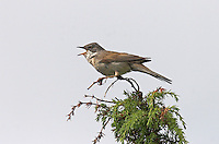 Dorngrasmücke, singt auf Sitzwarte, Dorn-Grasmücke, Grasmücke, Sylvia communis, Whitethroat, Fauvette grisette