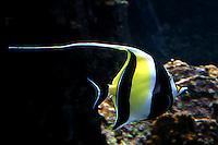 Angel Fish at the Maui Ocean Center.