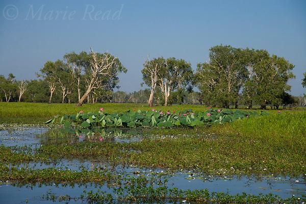 Wetland scene with pink waterlilies, Yellow Water, Kakadu National Park, Northern Territory, Australia