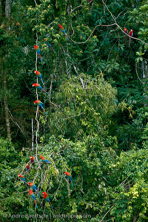 Red-and-Green Macaws (Ara chloroptera) perched on a liana above a clay lick along the Rio Manu, lowland tropical rainforest, Manu National Park, Madre de Dios, Peru.