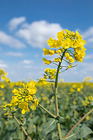 Oli seed rape coming into flower - Lincolnshire, April