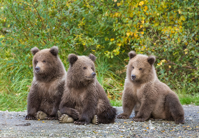 Brown bear triplet spring cubs, Katmai National Park, Alaska.